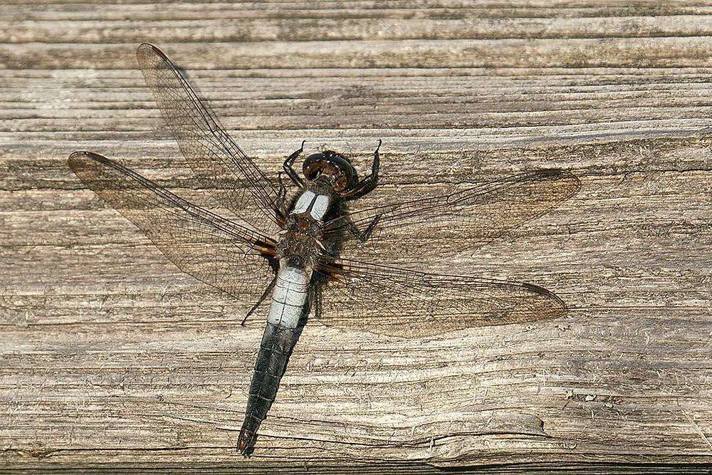 Mexico. Male Gray Silky-flycatcher, between Los Pescados & El Conejo, Veracruz (MX). Tuesday February 18, 2020 by Deborah Allen