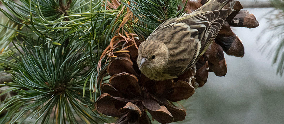 More NYC Pine Siskins: Irruptive, Nomadic Seed-eaters [Part 2 - 1989-2020]