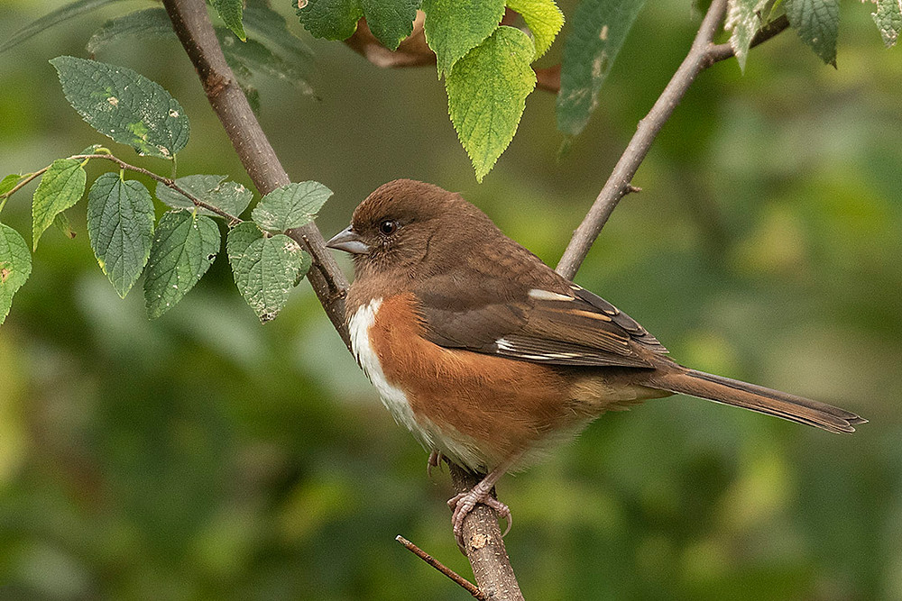 female Easern Towhee by Deborah Allen at the Upper Lobe of the Ramble (Central Park) on 20 October 2019
