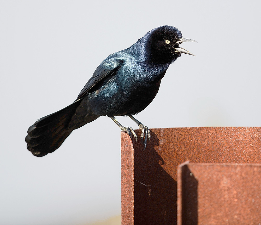 Boat-tailed Grackle October 2014 at Jamaica Bay
