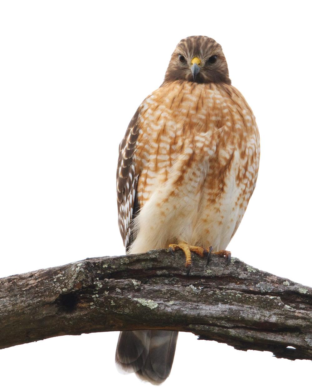 Red-shouldered Hawk, Central Park in November 2012 by Deborah Allen