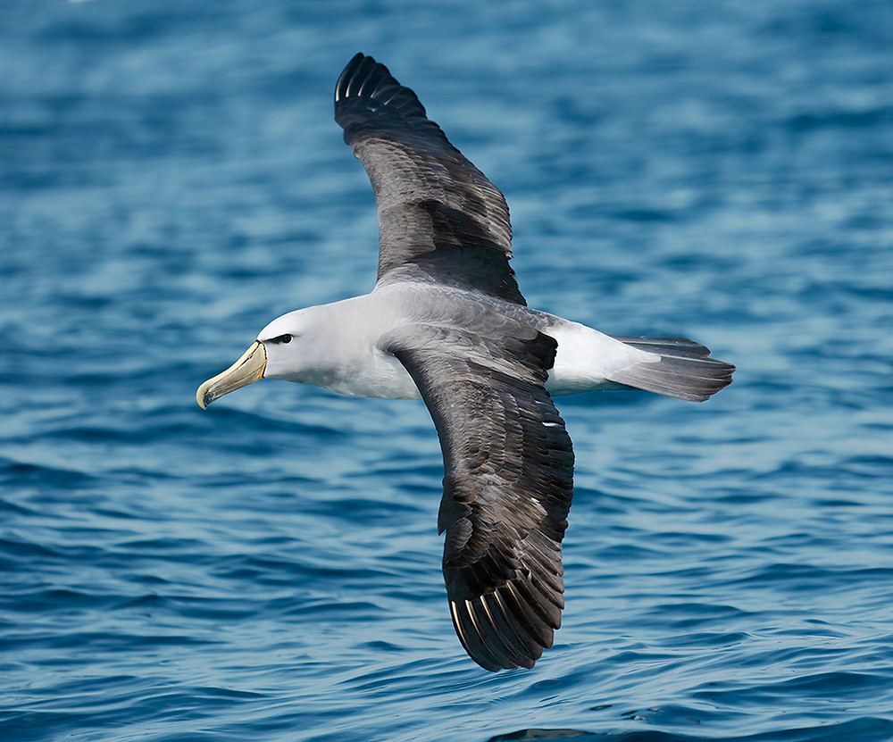 Salvin's Albatross on 22 November 2019 at Kaikoura Bay (South Island, New Zealand)