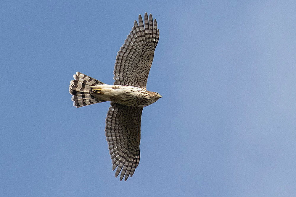 immature (first fall) Cooper's Hawk over Tupelo Field (Ramble, Central Park) by Deborah Allen, Sunday 13 October 2019