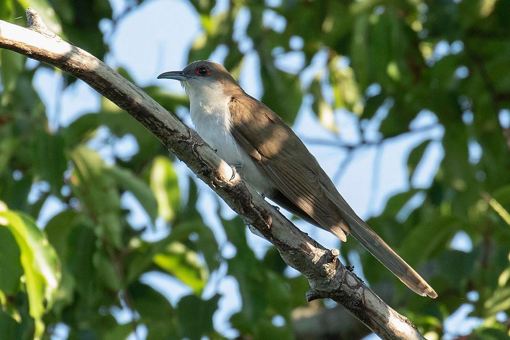 Black-billed Cuckoo at Jamaica Bay by Deborah Allen on 22 June 2019