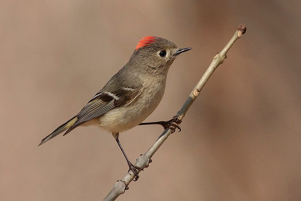 male Ruby-crowned Kinglet in Central Park (the Ramble) on 6 April 2019 by Deborah Allen