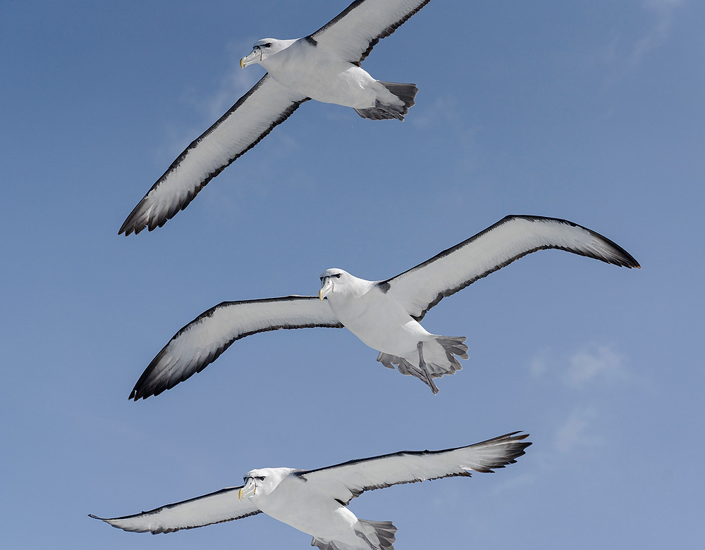 White-capped Albatrosses near Stewart Island (southern New Zealand) on Friday 29 November 2019
