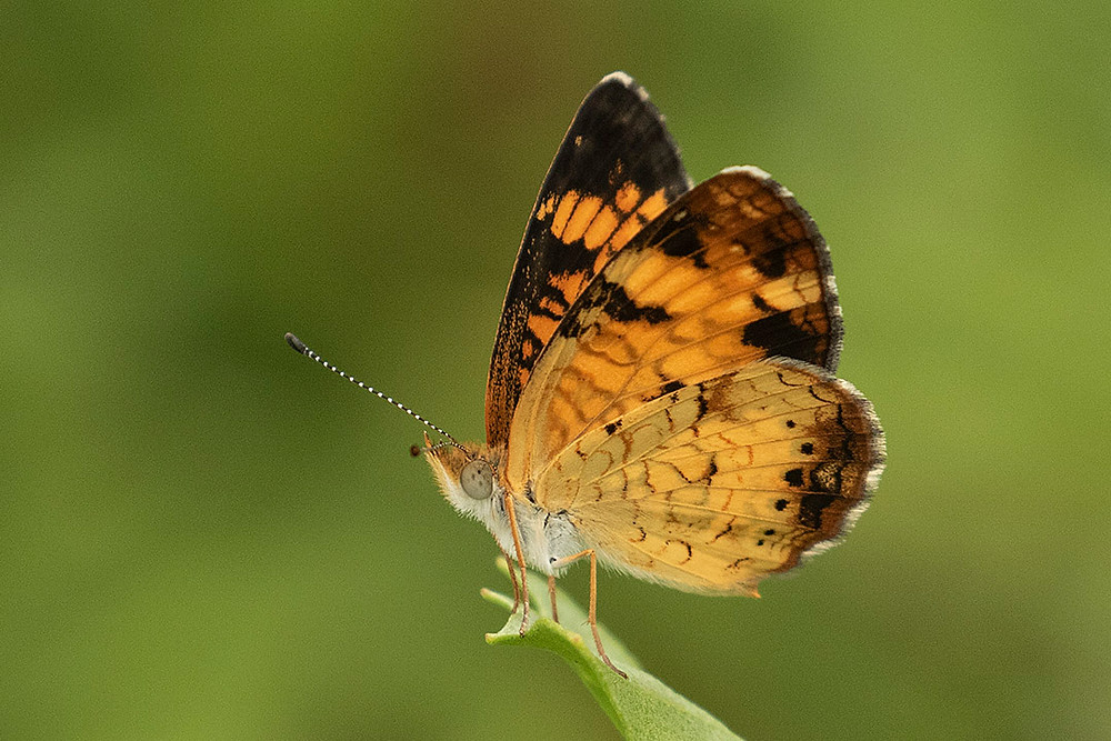 Pearl Crescent Butterfly on 23 August 2019 in Pelham Bay Park in the Bronx by Deborah Allen