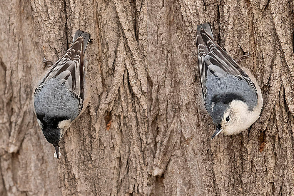 White Breasted Nuthatches - though the Red-breasteds keep getting all our attention, recently the White-breasts have become the most common nuthatch in the park far and away.