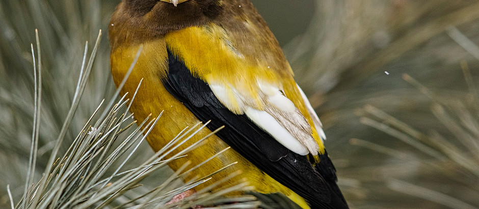 EVENING GROSBEAK: Extraordinary Finch from the Far North