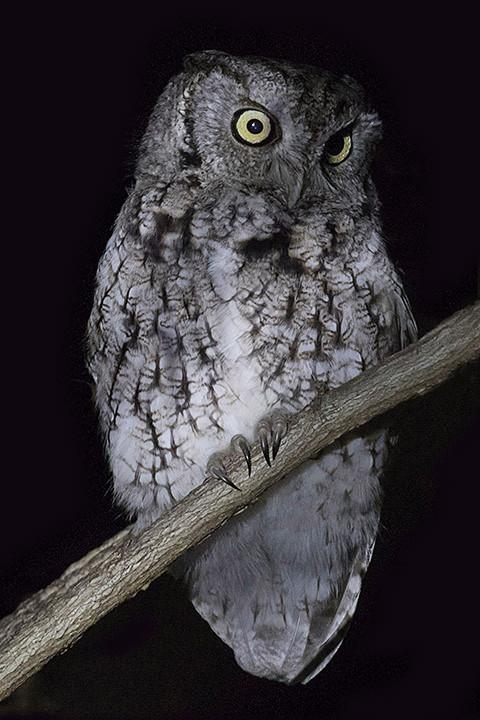Eastern Screech-owl at Van Cortlandt Park, Bronx on 18 February 2018 by Deborah Allen