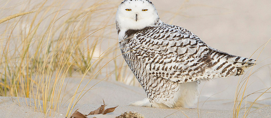 Cold, Snow, Owls and those Winter Birds of Central Park