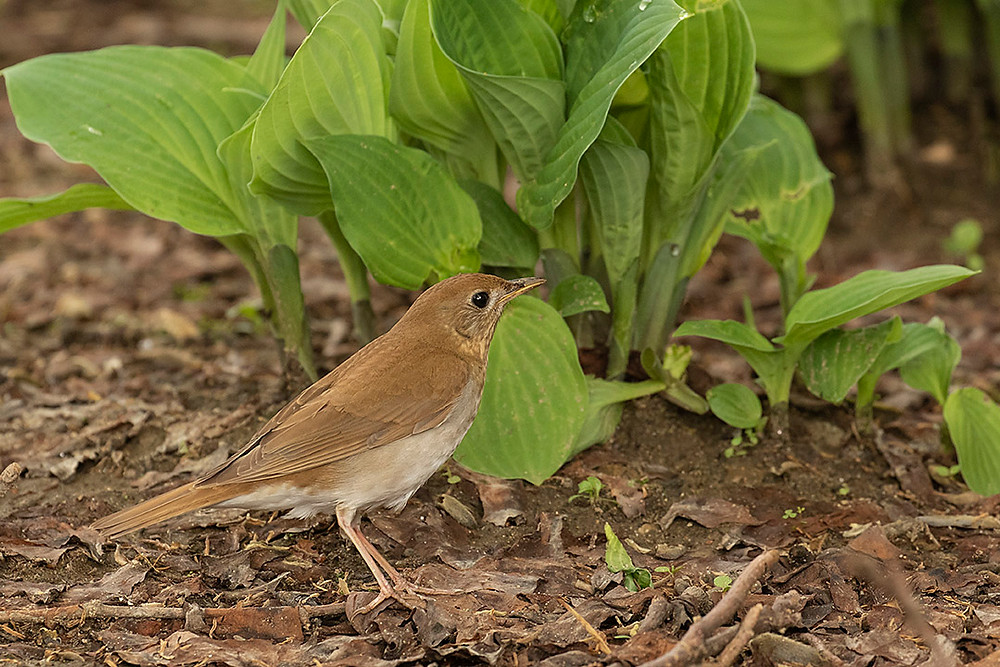 Veery by Deborah Allen on 5 May 2019 in our backyard in the Bronx