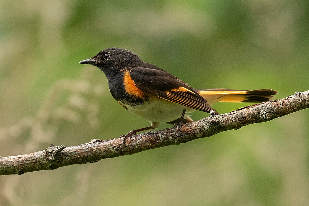 American Redstart June 2019 at Jamaica Bay by Deborah Allen