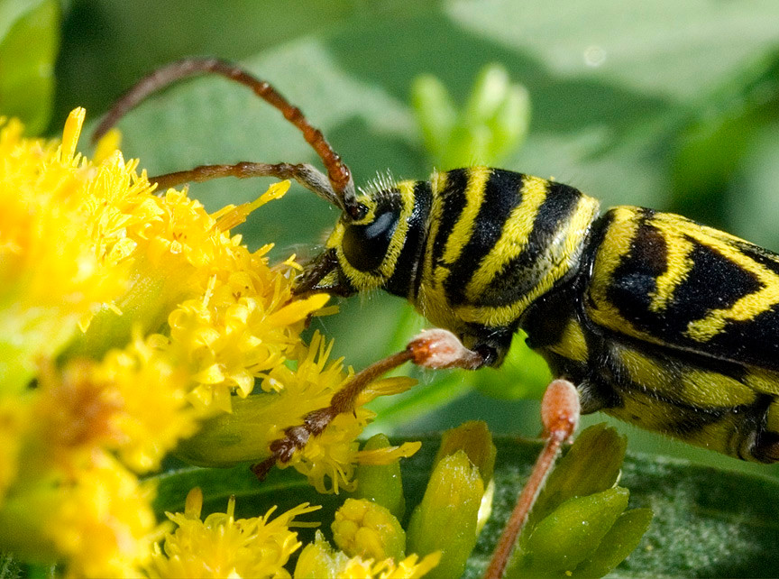 Locust Borer Beetle on Goldenrod
