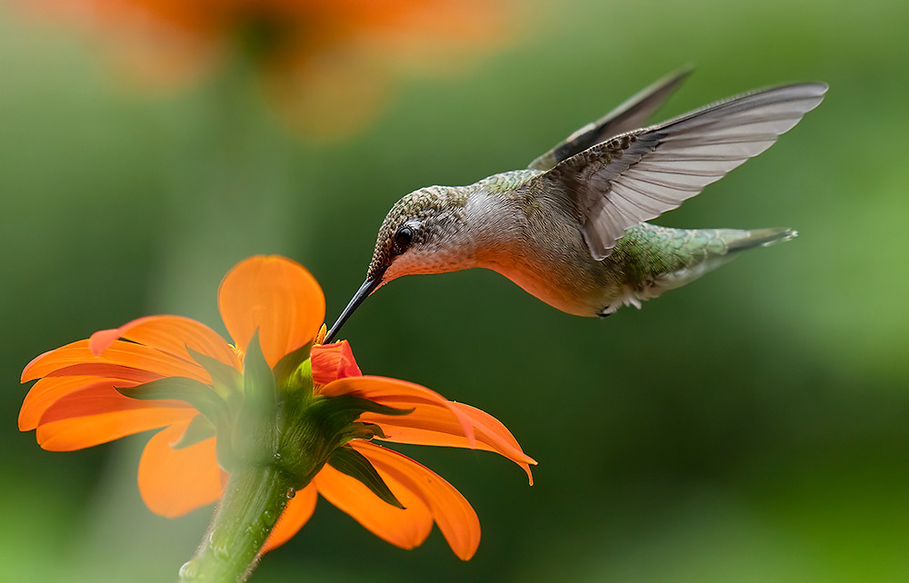 Ruby-throated Hummingbird in our backyard in the Bronx on Thursday 22 August 2019; a female, she is feeding on Mexican Sunflowers 15 August by Felipe Pimentel PhD