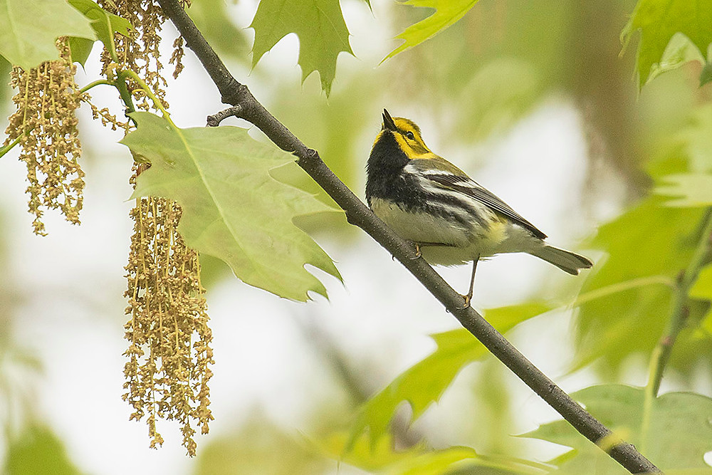 Black-throated Green Warbler on 6 May in the Ramble (Central Park) by Deborah Allen