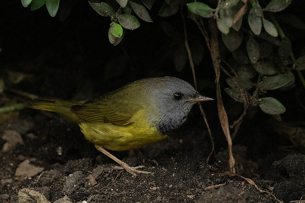 male Mourning Warbler by Deborah Allen at Bryant Park (42nd st. and 5th Ave) on 8 June 2019