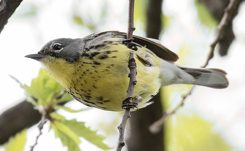 Kirtland's Warbler (young male) by Deborah Allen on 12 May 2018 - a first for Central Park!