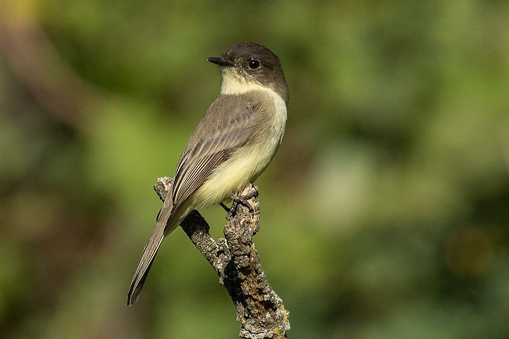 Eastern Phoebe by Deborah Allen on 5 October 2019 at Pelham Bay Park in the Bronx in the Southern Zone