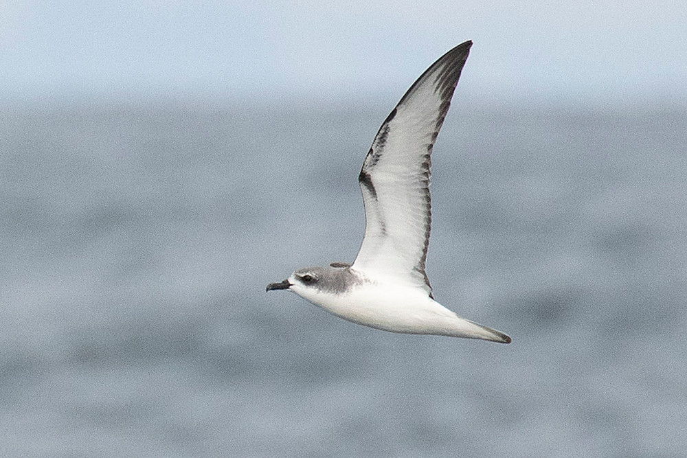 Cook's Petrel by Deborah Allen at Auckland (New Zealand) on 15 December 2019