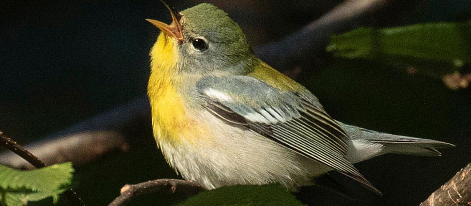 Bird Migrants Arriving in Number: mid-September in Central Park