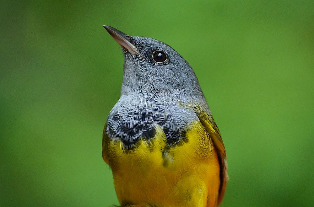 male Mourning Warbler by Doug Leffler, autumn 2017