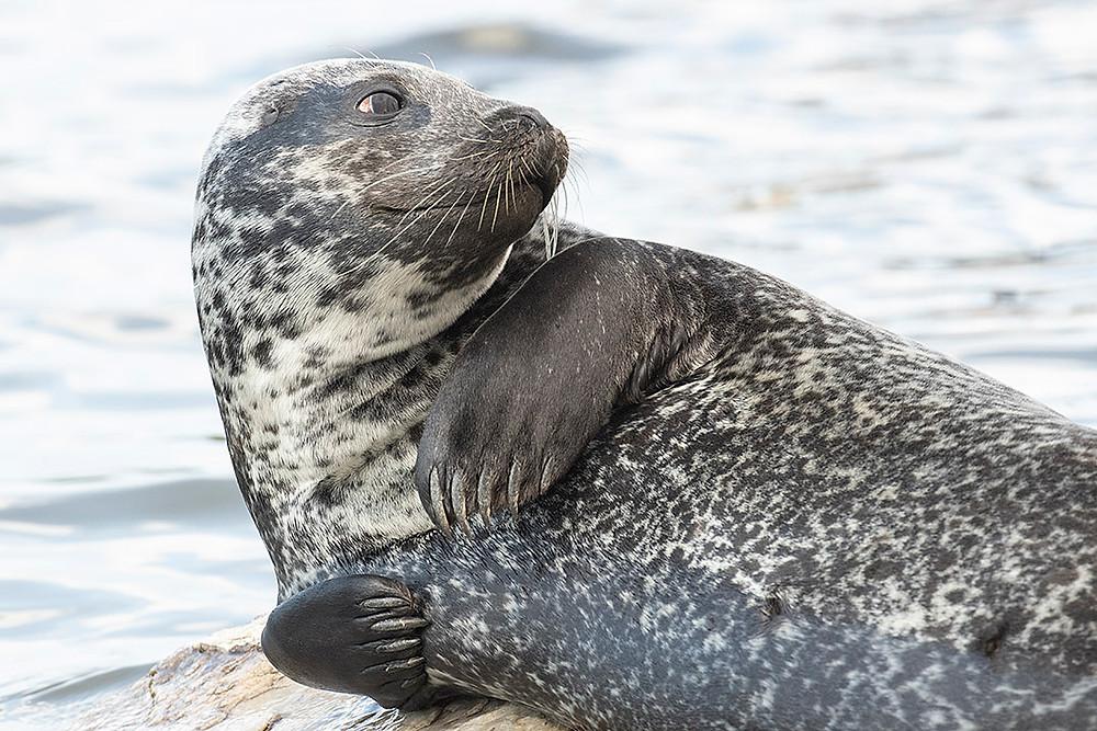 Harbor Seal, Muscota Marsh, Inwood Hill Park (Manhattan), Friday August 9, 2019: by Deborah Allen