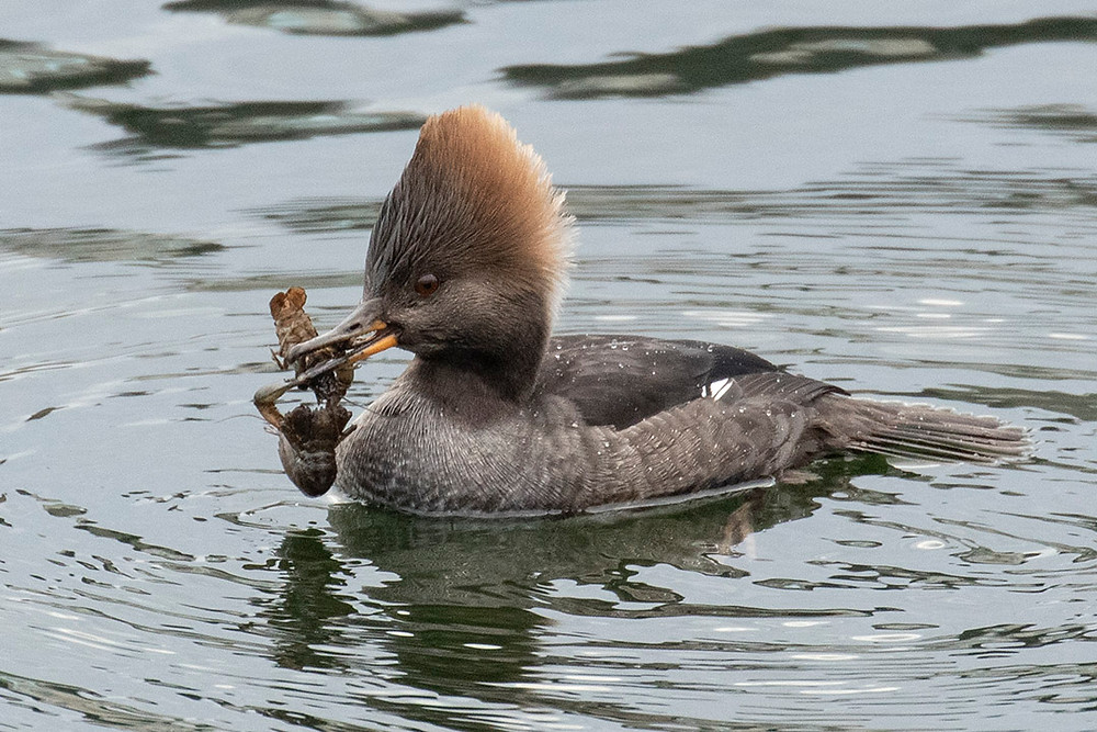 Female Hooded Merganser by Deborah Allen with TWO Crayfishes, the Reservoir, Sunday 12 January 2020