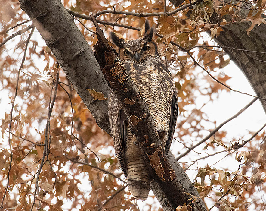 Great Horned Owl by Deborah Allen at the Gill Overlook (Central Park) early Sunday morning 9 December 2018
