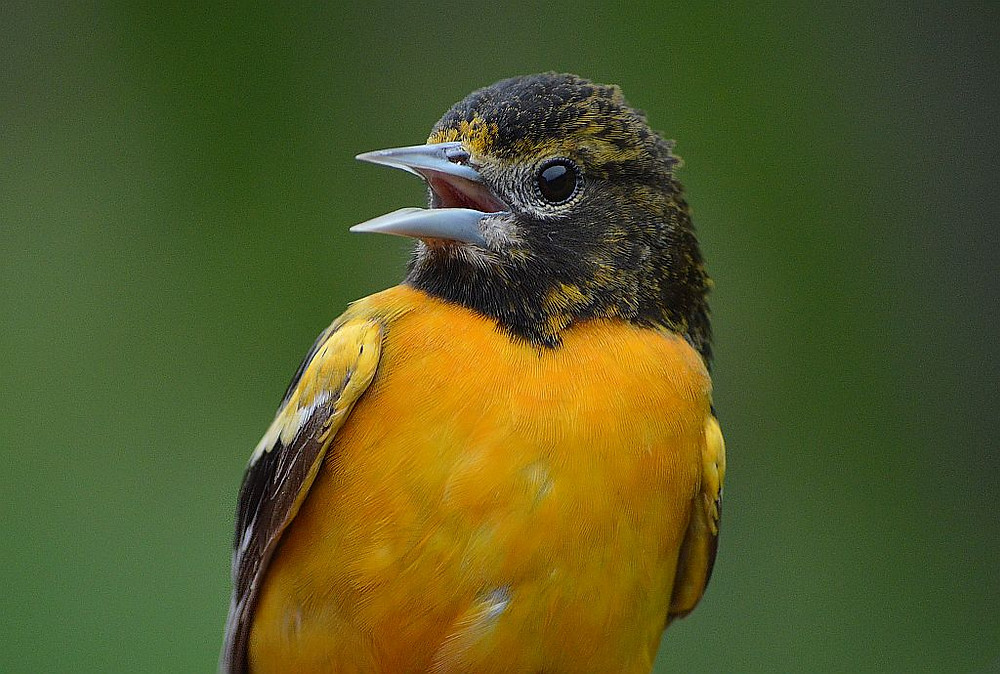 Young Male Baltimore Oriole by Doug Leffler in May 2019