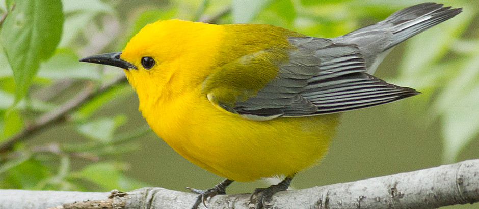 Prothonotary Warbler: Central Park