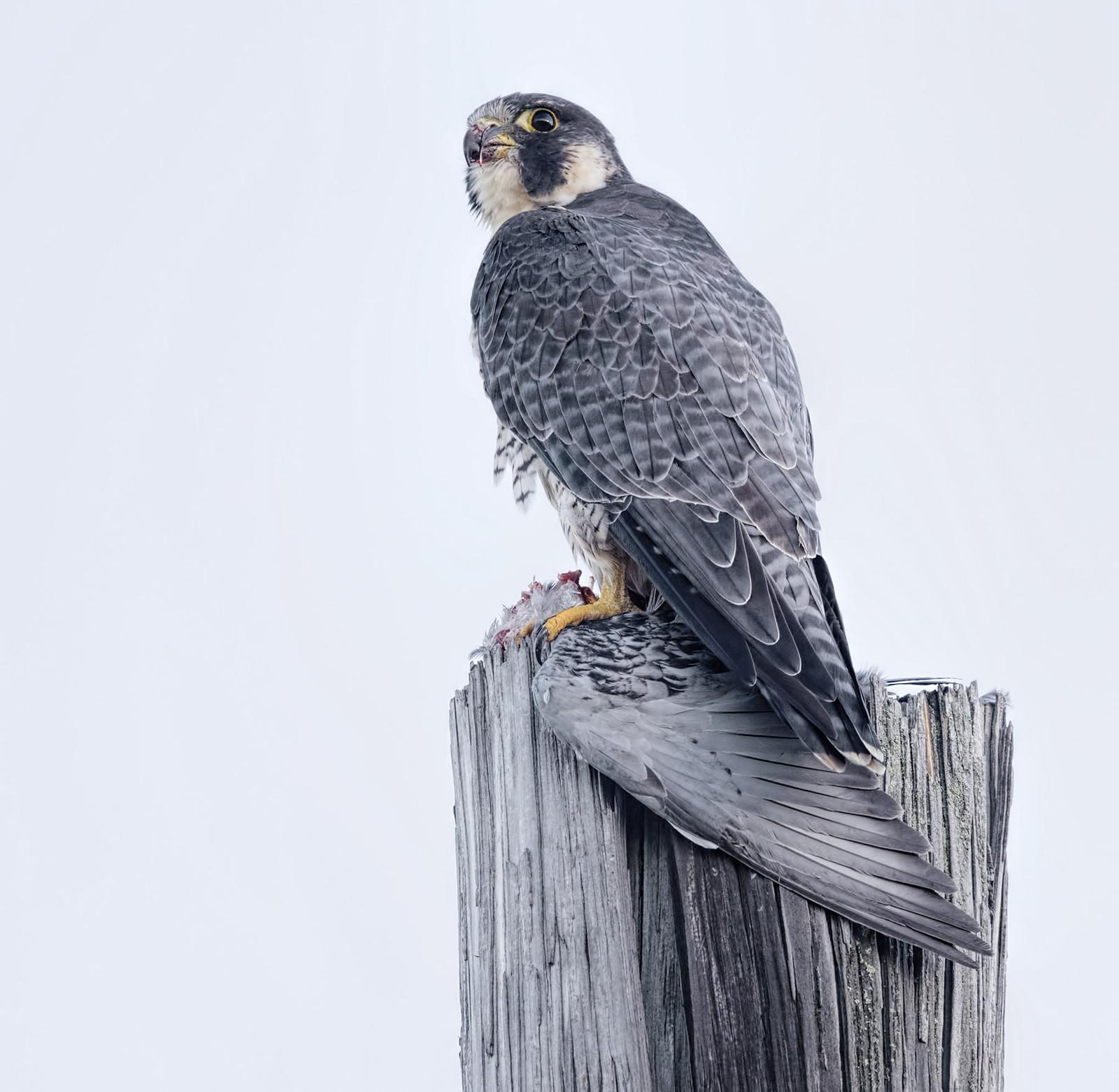 Peregrine Falcon (adult female)