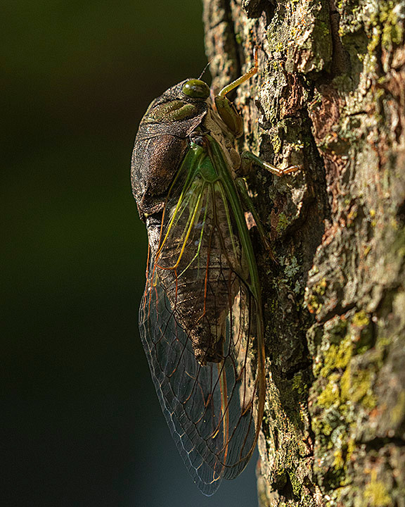 Dog Day Cicada, Monday 29 July 2019 by Deborah Allen