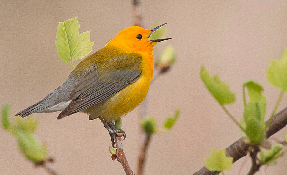 Prothonotary Warbler at NYBG (the Bronx) on 20 April 2011 by Deborah Allen