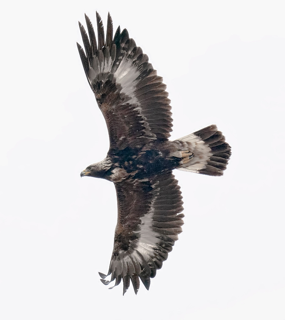 young Golden Eagle at Ft. Pierre National Grasslands (South Dakota) on 4 February 20204 December 2016