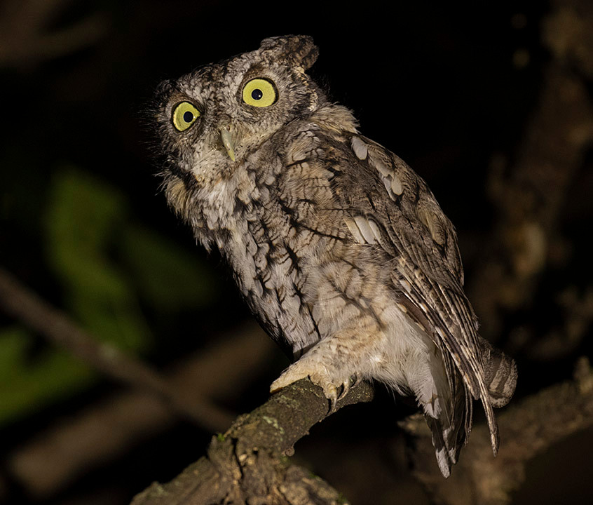 adult Eastern Screech-owl at Inwood Hill Park, Manhattan on Tuesday evening 27 August by Deborah Allen