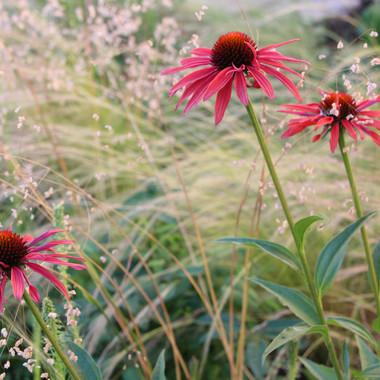 Echinacea and Grasses