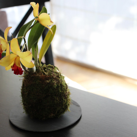 Cattleya orchid Kokedama | Peace of Plant