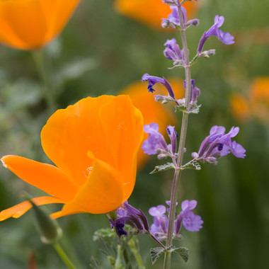 Nepeta and Poppies