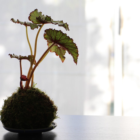 Begonia Kokedama | Peace of Plant