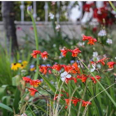 Crocosmia   Peace of Plant