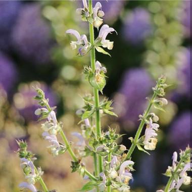 Salvia sclarea   Peace of Plant