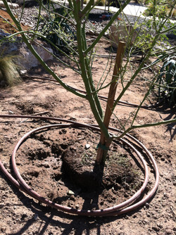JXC Landscaping Rough Hollow  Drip Irrigation Install 10.26.2014 (47)