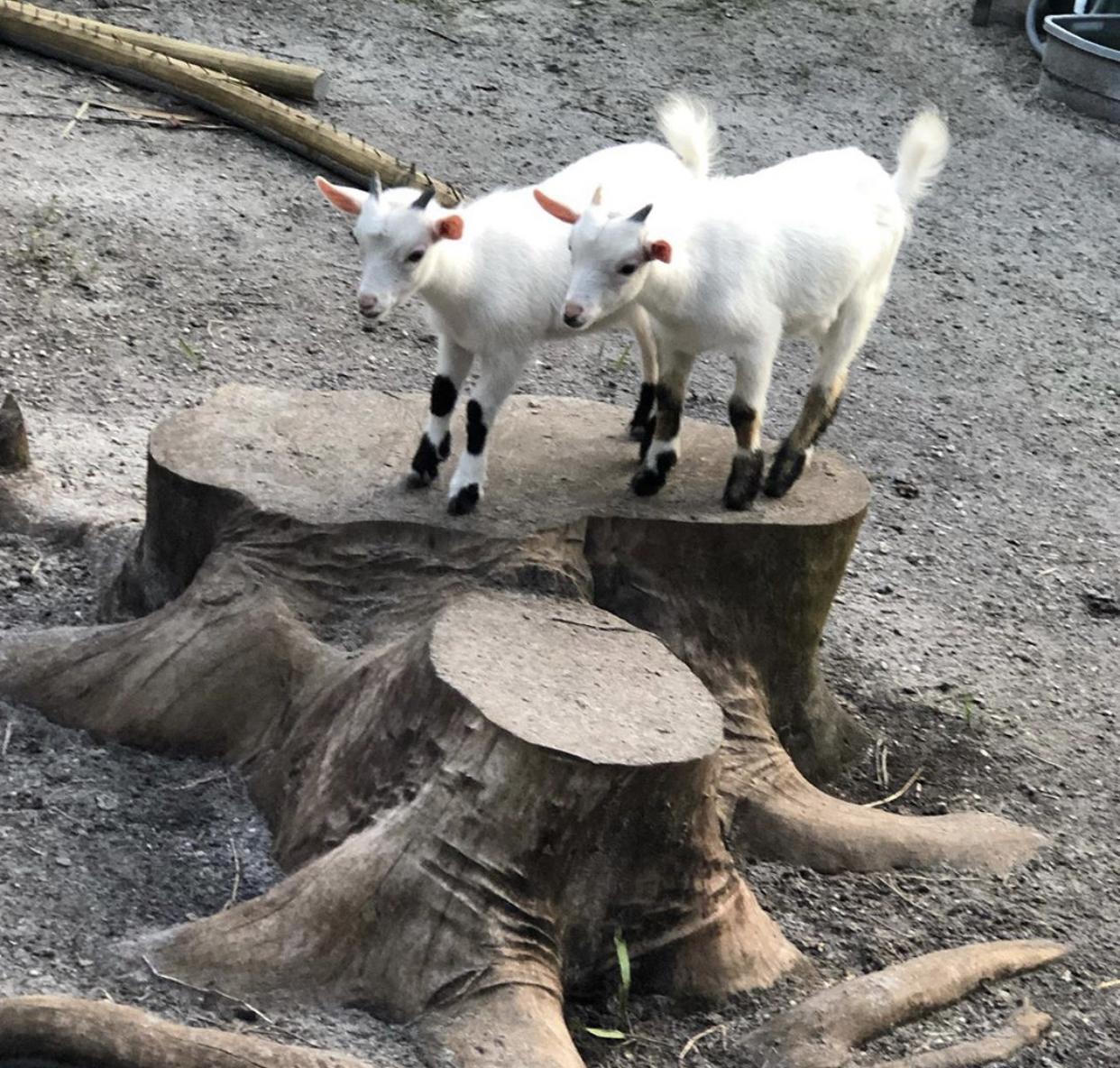 Twin goats