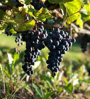 grappes-raisins-bleu-domaine-gelinas.jpe