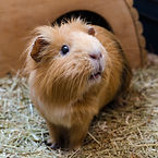 guinea pig pet sitter flower mound, rabbit pet sitter flower mound