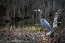 Louisiana Wild