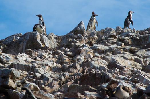 Peruvian Penguins