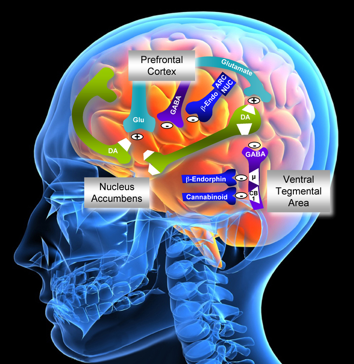 A Deeper Look at the Neurocircuitry of Addiction | Biology ...