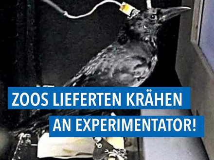Skandal um illegale Krähen-Tierversuche weitet sich aus